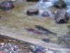 coho-migrating-through-recently-completed-fish-passage-enhancement-works