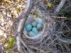 common-redpoll-nest-nunavut