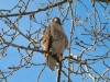 red-tailed-hawk-langley-bc