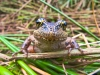 northern-red-legged-frog-abbotsford