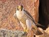 peregrine-falcon-nunavut
