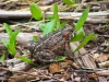 western-toad-blue-river