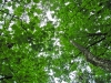 deciduous-canopy-cover-harrison-bc