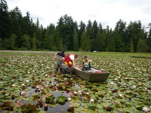 AquaTerra personnel evaluating invasive water lily – Beaver Lake.
